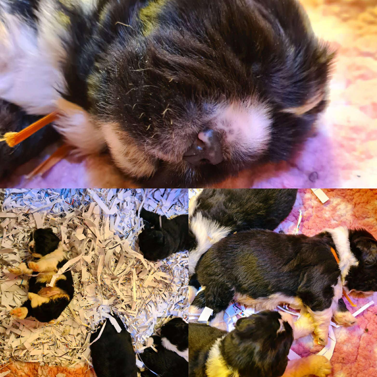 Collage cuccioli di terranova