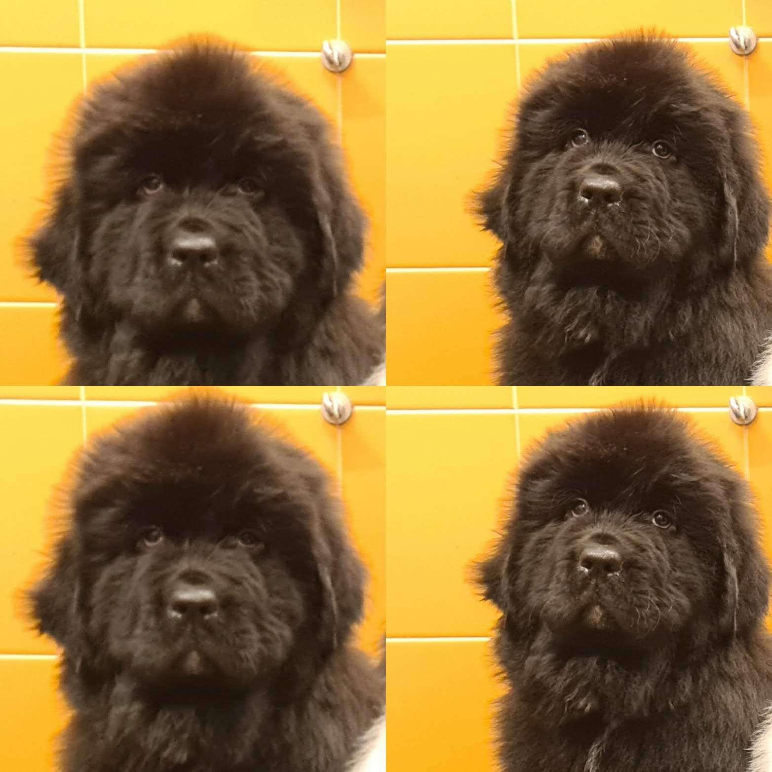 Collage cucciolo di terranova