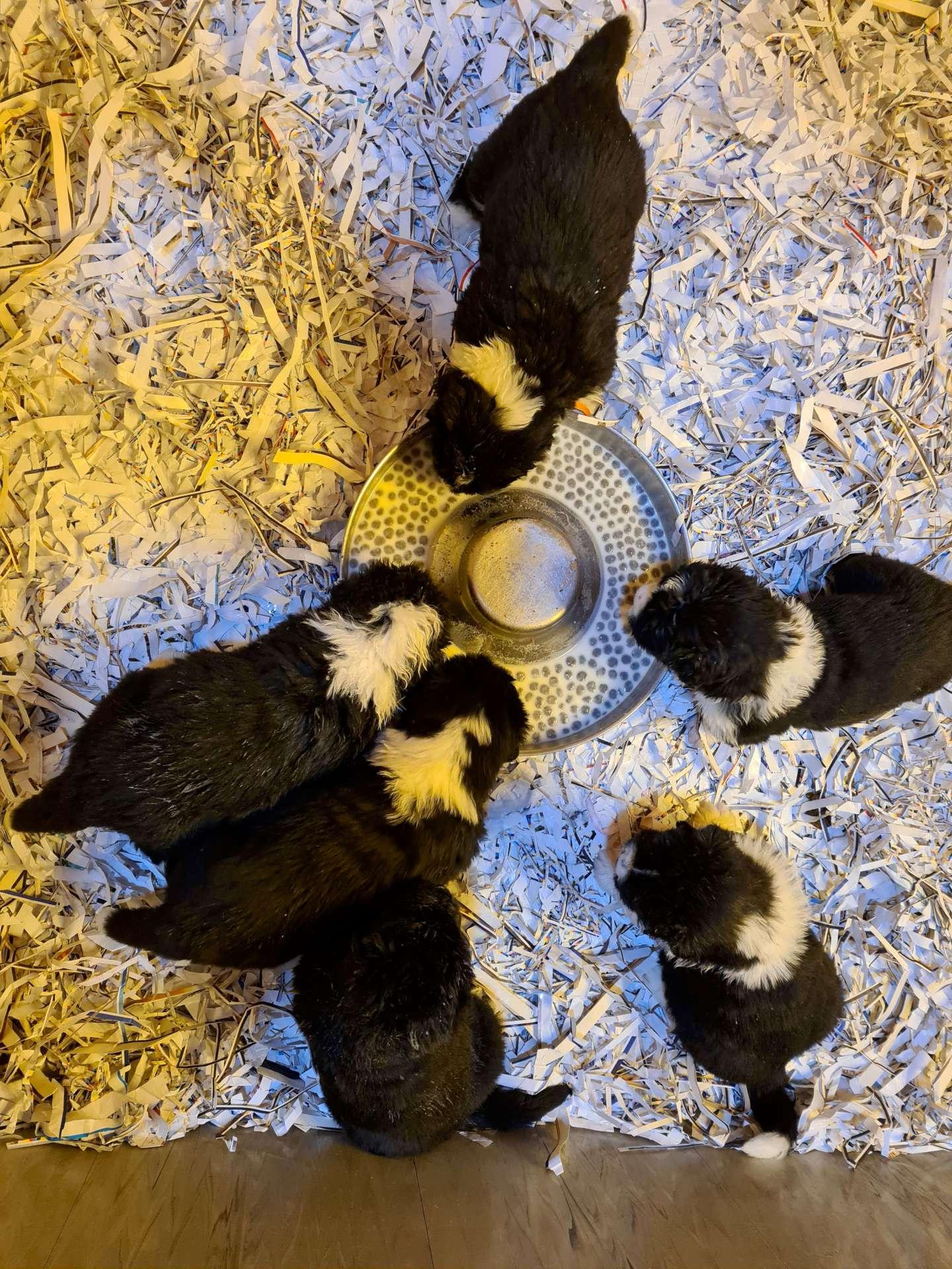 Cuccioli di terranova che mangiano
